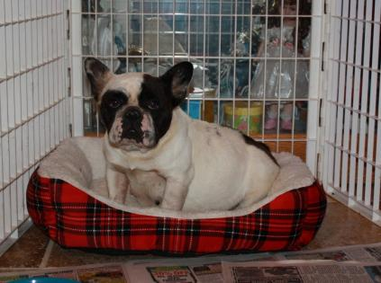 Female Black and White Pied French Bulldog