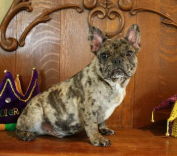 Tricolor Coco Merle French dog puppy. Champion lines
