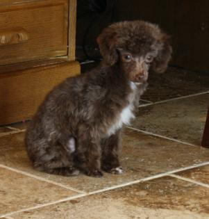 Darkest Chocolate Female Teacup Poodle