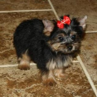 Black and Gold Female Yorkie