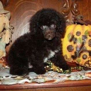 AKC male Chocolate Teacup Poodle for sale