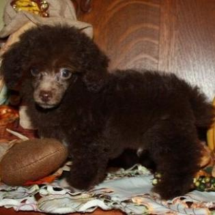 Chocolate Tiny Toy Male Poodle