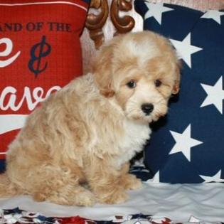 Tiny Toy Male Apricot Maltipoo Puppy