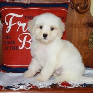 Apricot and White Maltipoo Puppy