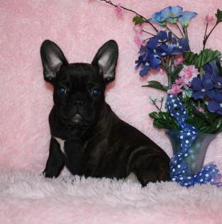 Brindle with a Black Mask French Bulldog