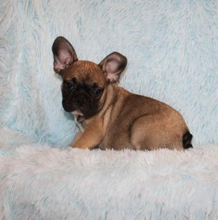 Fawn with Black Mask French Bulldog