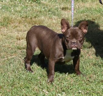 Chocolate Male French Bulldog
