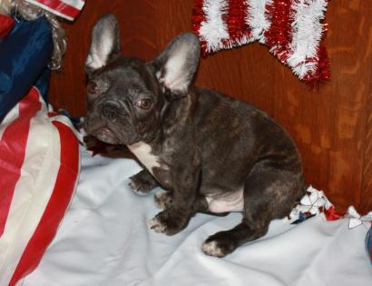 Chocolate Brindle Male French Bulldog.