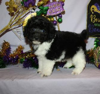 Black and white Toy Poodle