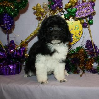 Black and white Toy Parti' Poodle