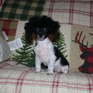 Black-white Teacup Poodle puppy for sale