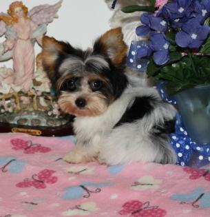 Teacup Black and White Parti Yorkie