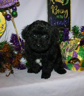 Black male Toy Poodle